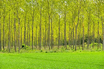 Holzenergie aus Kurzumtriebsplantagen